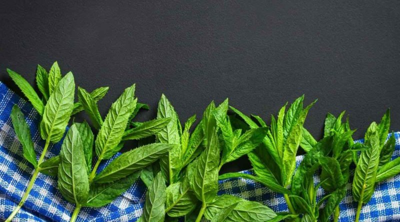 Peppermint/Pudina is extensively used in the traditional herbal medicine practices, across cultures.