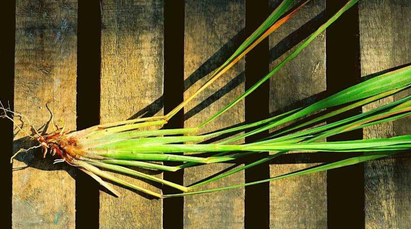 Lemongrass is full of prven anti-fungal, antibacterial, anti-inflammatory and antioxidant properties.